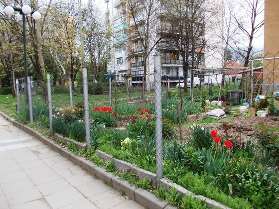 Botevgrad_laleta