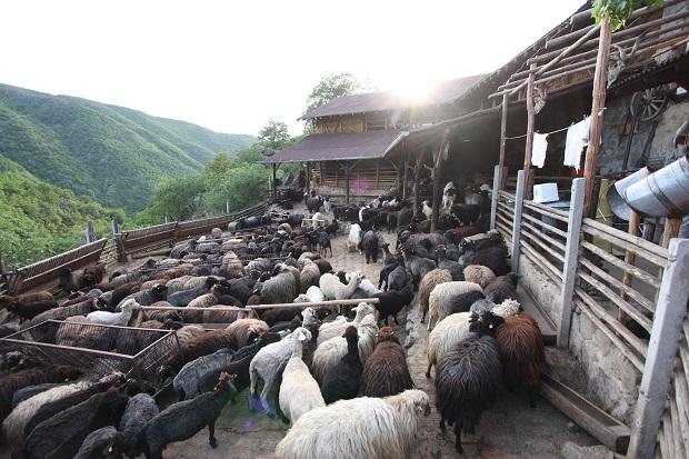 Каракачански овце