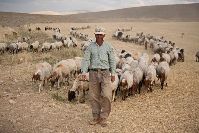 Турски овчар.