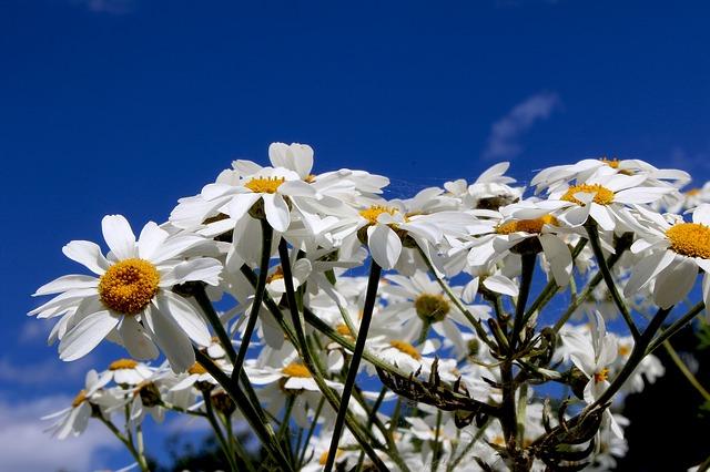 daisy-615217_640