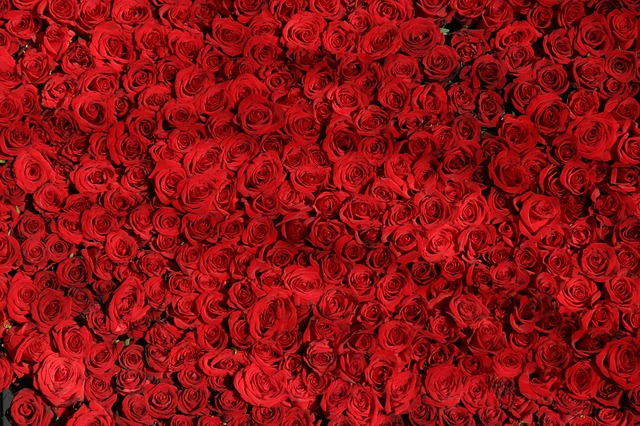 rose-374318_640