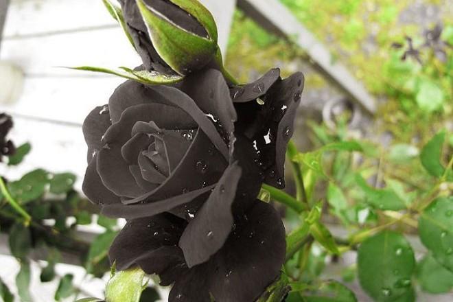 Black Rose 03