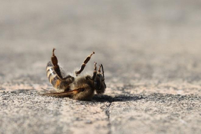 honeybees-dying-upside-down-sidewalk_af4c4d32391143efc4bf97c2178b7479_3x2_jpg_600x400_q85