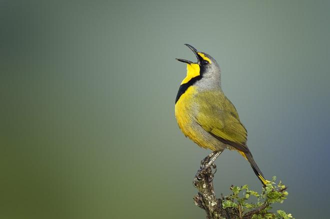 Bokmakierie bird - Telophorus zeylonus