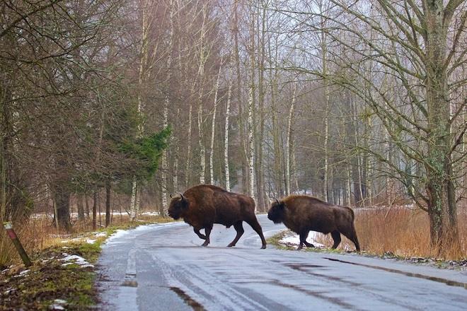 bison-on-the-road-bialowieza-forest-01