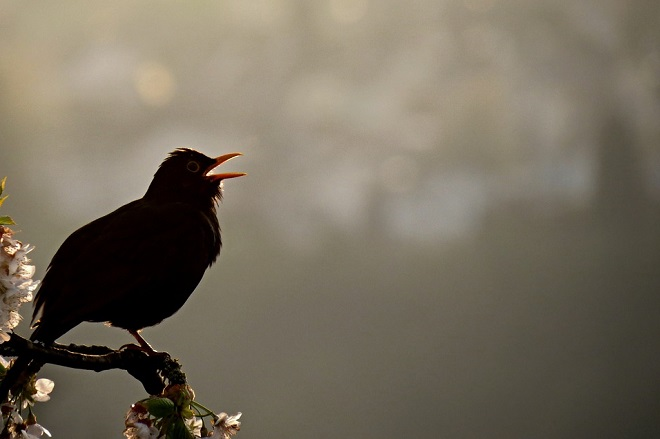 blackbird-1980314_960_720