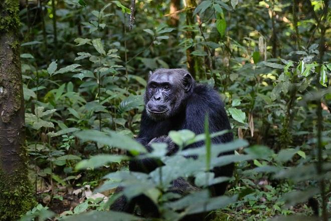 chimpanzee-uganda-monkey