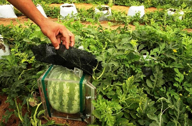square-watermelons-2010-4-28-17-31-141