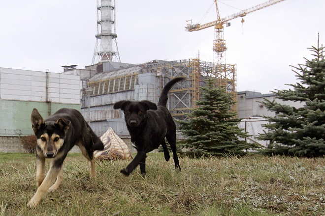 Stray dogs run in front of the Chernobyl