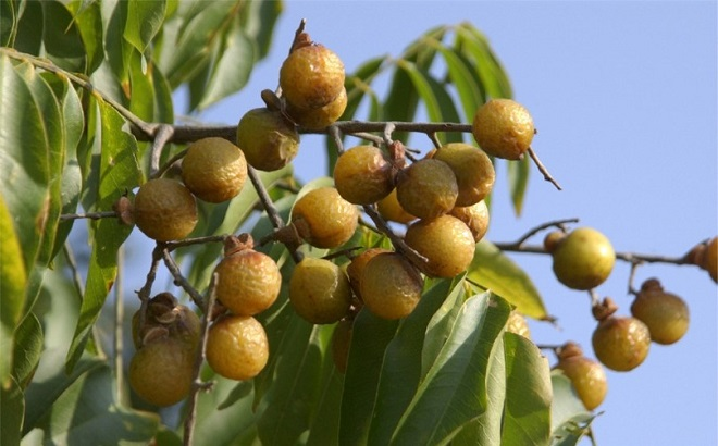 natural-soapnuts-tree