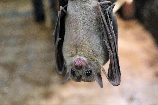 fruit-bat-1582189_1920