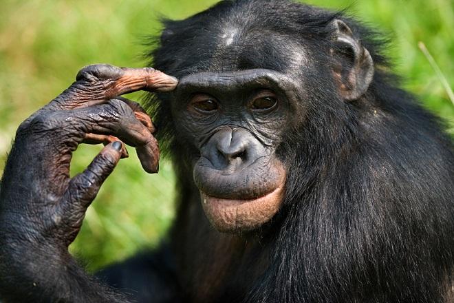 Шимпанзе22