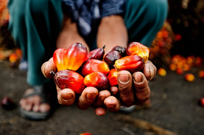 Smallholder shows the harvested palm fruit, Musim Mas palm oil p